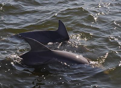 Dolphin Life Span