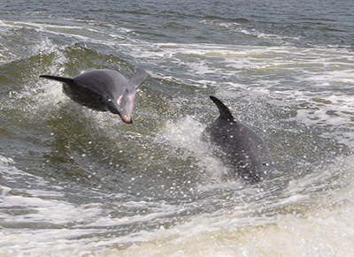 Dolphins in Alabama